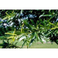 Willow Oak Tree Leaves For Sale