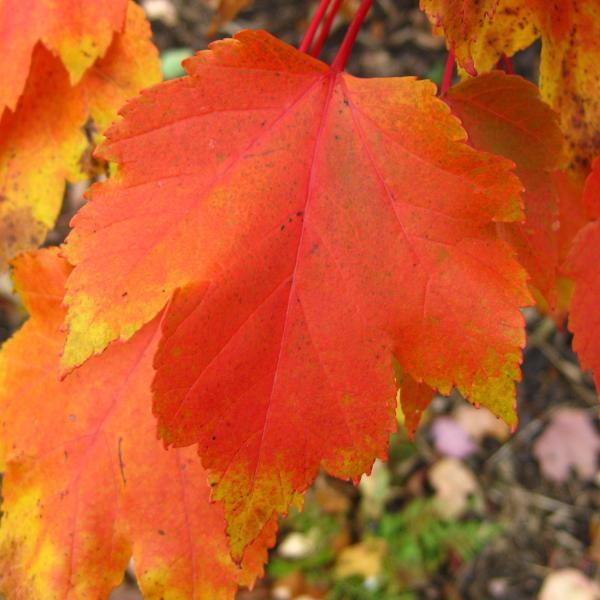 Maple, October Glory Tree Fall Color For Sale