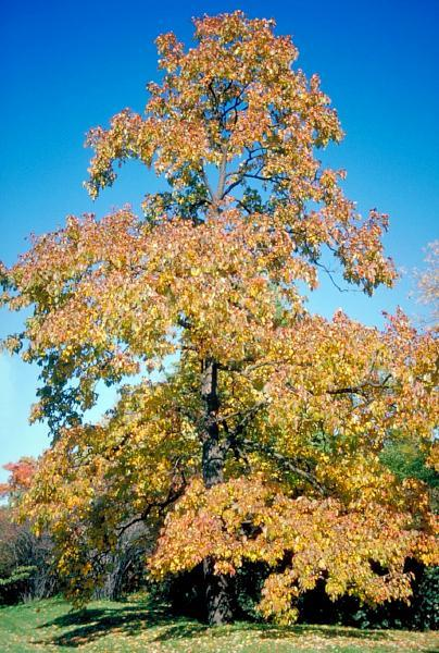 Persimmon Tree Fall For Sale