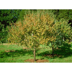 Plum, American Tree For Sale