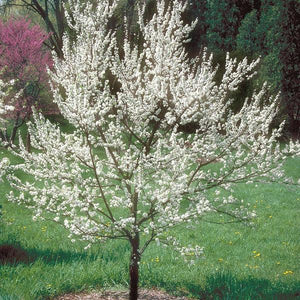 Plum, American Tree Flowers For Sale