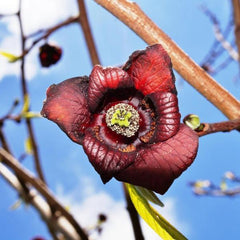 Pawpaw Tree Flower For Sale