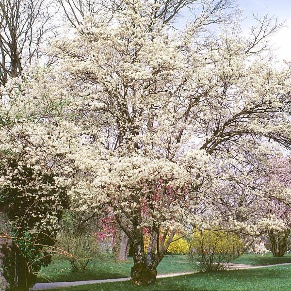 Serviceberry allegheny trees for sale amelanchier laevis ready allegheny serviceberry tree for sale altavistaventures Image collections