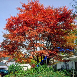 Downy Serviceberry Tree For Sale