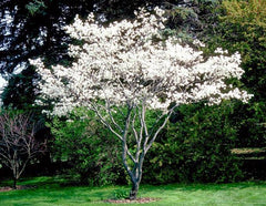 Serviceberry, Shadblow Trees For Sale