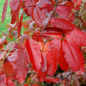 Sourwood Tree Fall Colors For Sale