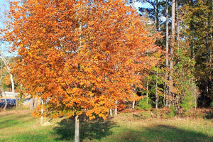 Sugar Maple Tree Fall Foliage For Sale