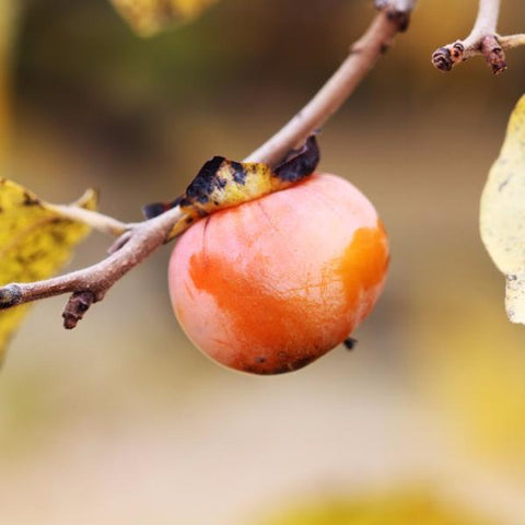 Persimmon Tree Fruit For Sale