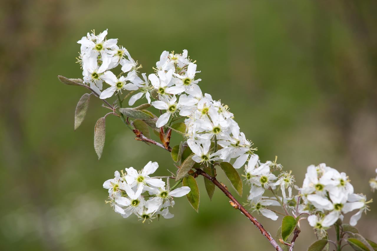 Shadblow Serviceberry Tree Bloom For Sale