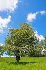 Washington Hawthorn Tree for sale