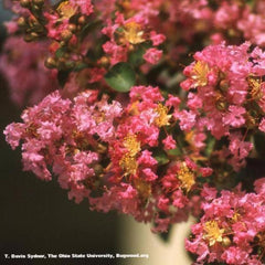 Crape Myrtle Muskogee Tree for sale