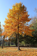 Poplar, Yellow Tree Fall For Sale