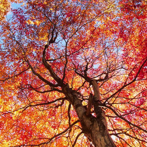 Summer Red Maple Tree for sale