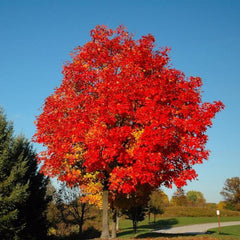 Red Sunset Maple Tree For Sale