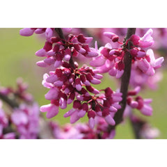Redbud, Eastern Tree For Sale