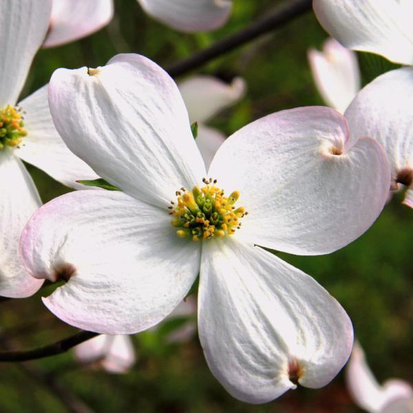 Dogwood flowering trees for sale cornus florida ready to grow trees dogwood flowering tree blossom for sale mightylinksfo