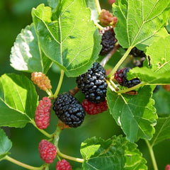 Mulberry, Red Tree For Sale