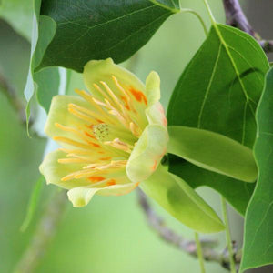 Poplar, Yellow Tree Flower For Sale