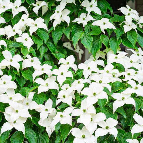 Dogwood, Kousa Trees Flowers for sale