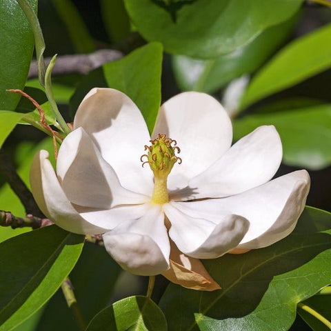 Magnolia, Sweetbay Tree Flower for sale