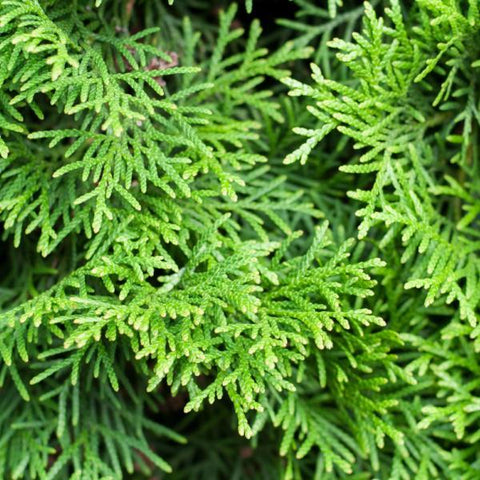 Thuja Green Giant Arborvitea Needles for sale