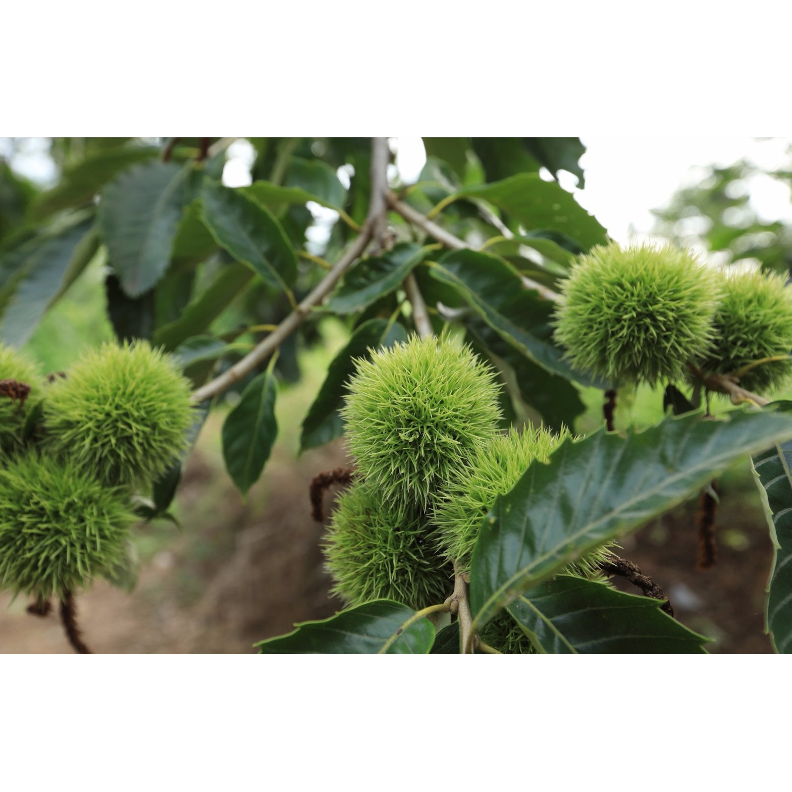 Chestnut, Chinese Tree for sale