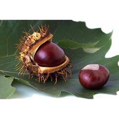 Chestnut, Chinese Tree nut for sale