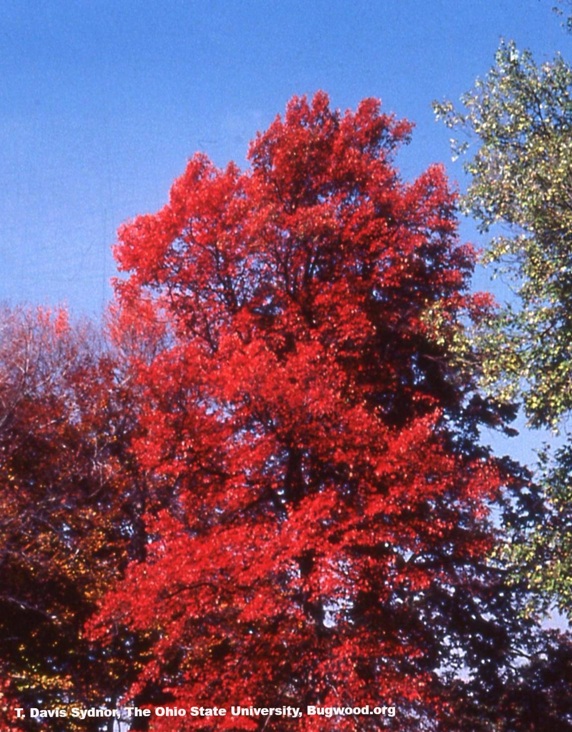 Black Gum Tree fall color for sale