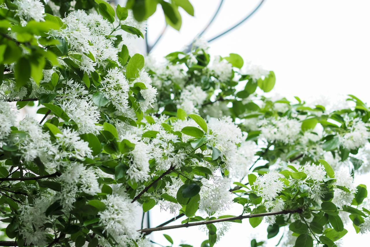 White Fringetree Flowers for sale