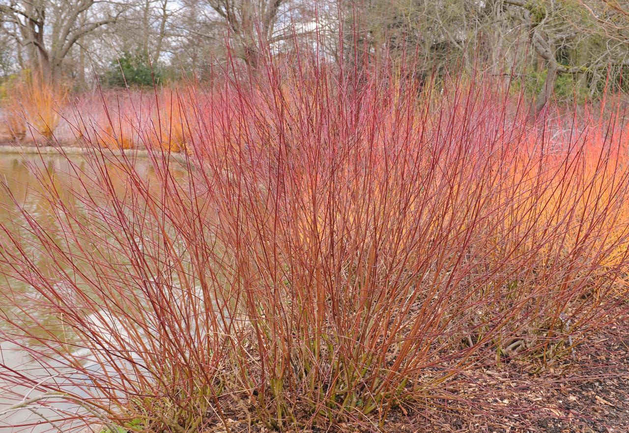 Silky Dogwood Winter for sale