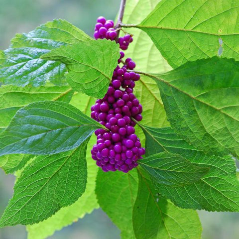 Beautyberry Tree for sale
