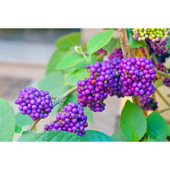 Beautyberry Tree berries for sale