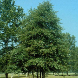 Black Gum Tree for sale