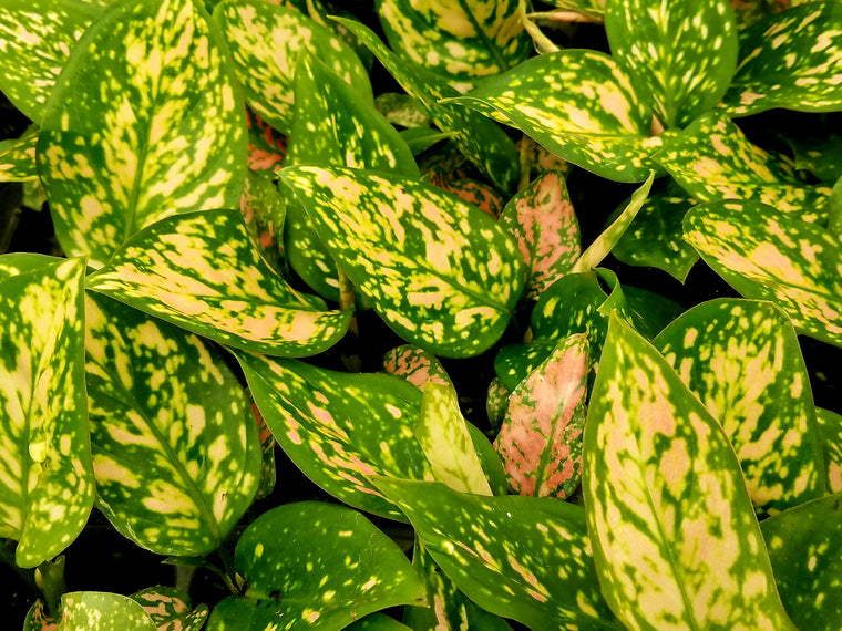 Aglaonema 'Favonian' 50 cell