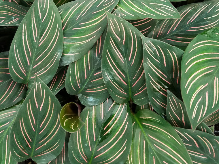 Calathea 'Beauty Star' 72 cell