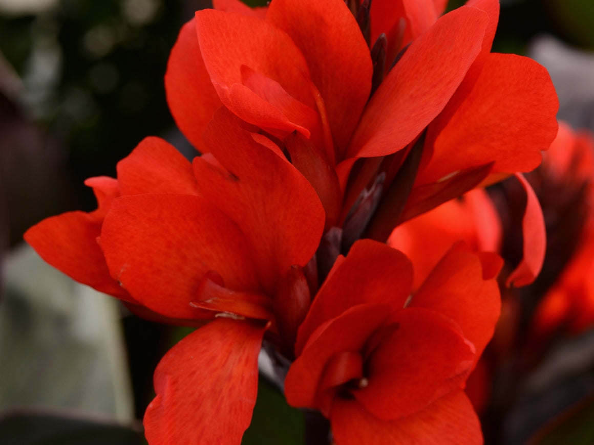Canna Bronze Scarlet 72 cell