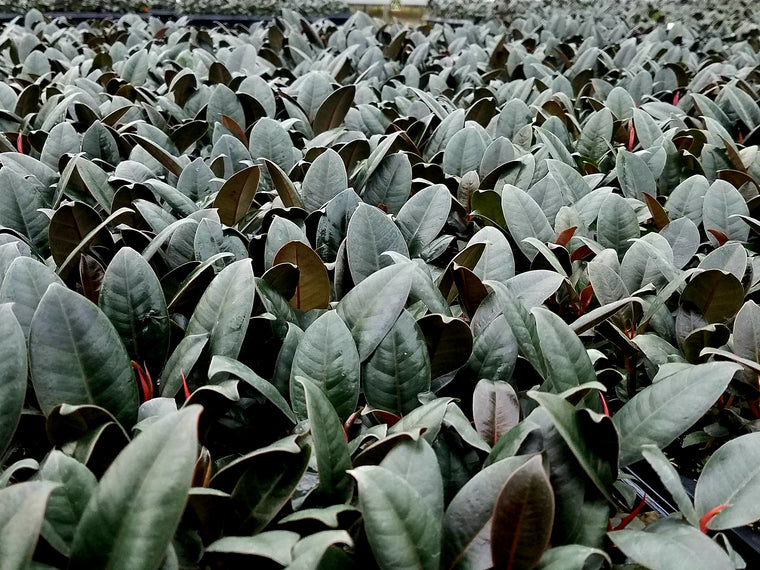 Ficus Elastica 'Burgundy' 72 cell (Clumps)