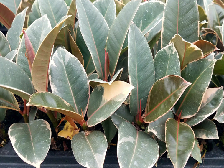 Ficus 'Tineke' 72 cell (clumps)