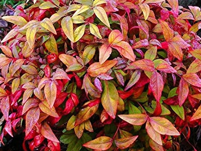 Nandina Firepower 72 cell