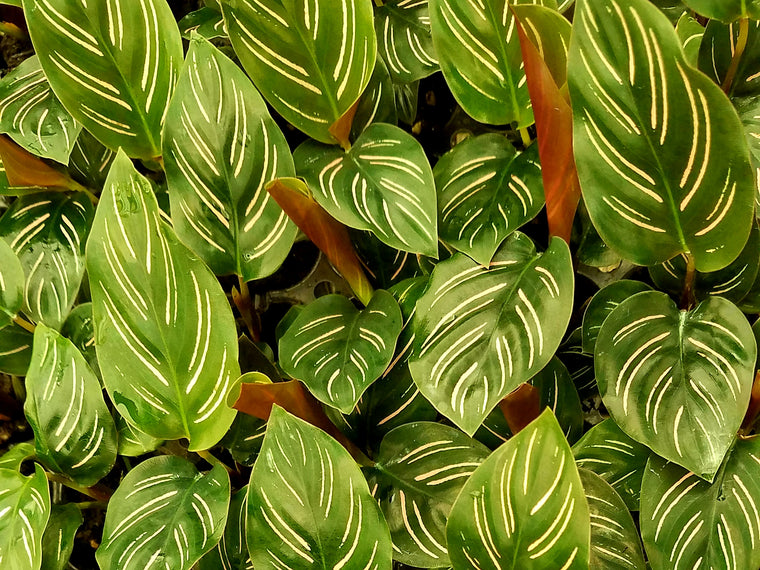 Calathea Ornata 72 cell