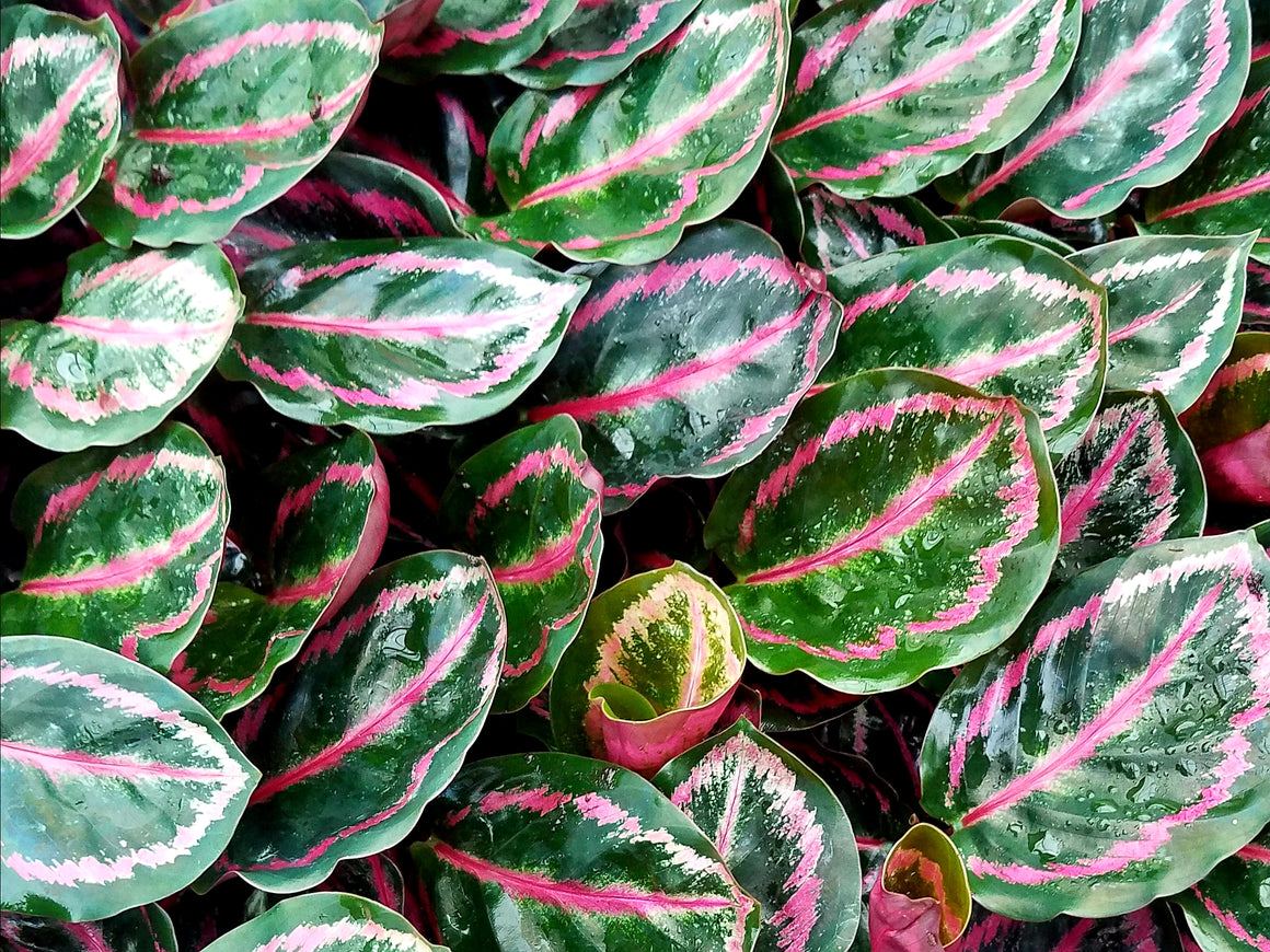 Calathea Roseopicta 'Illustrus' 72 cell