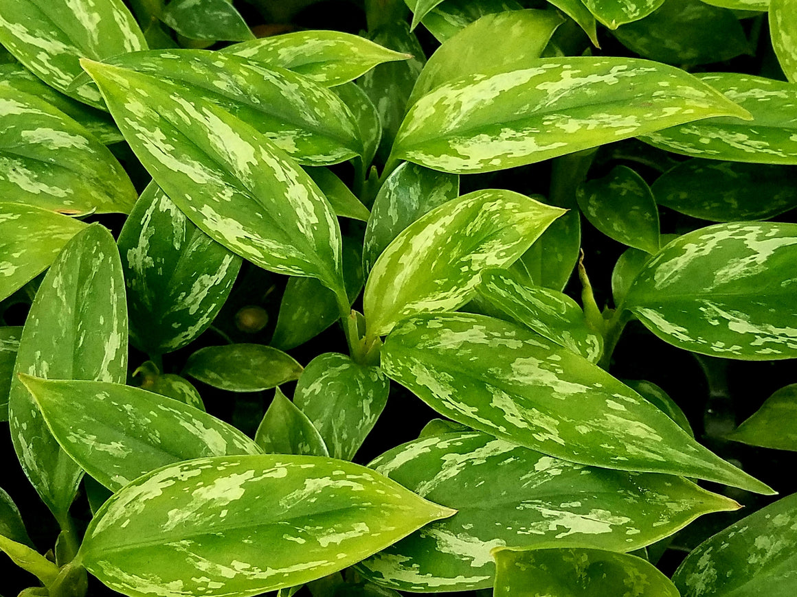 Aglaonema 'Jade' 50 cell
