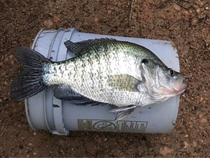 Pre-Spawn Crappie Fishing Tips from The B'n'M Pros