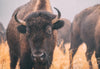 Photographing Kansas Bison in the Winter Fog