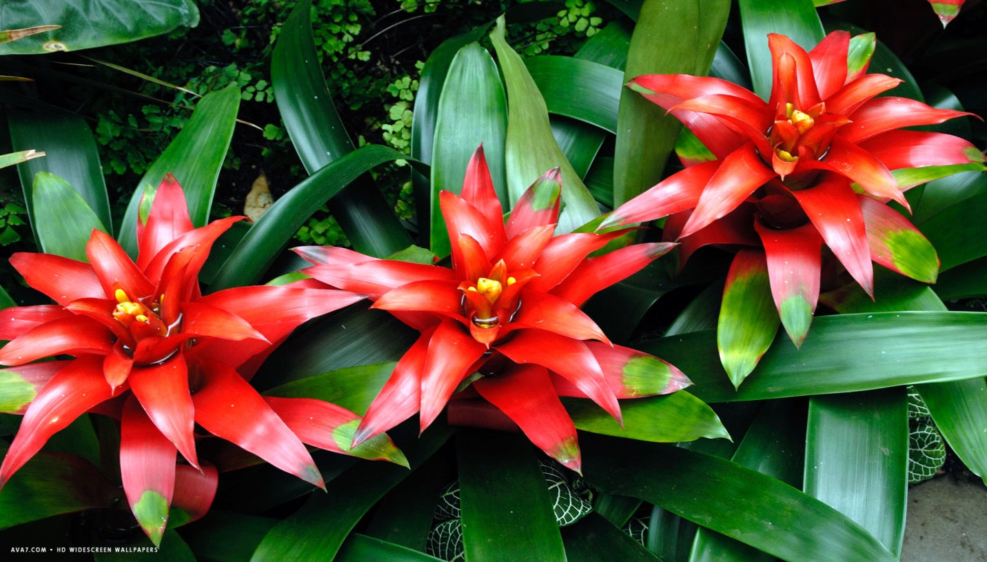 Indoor Bromeliads – How to Grow Them Indoors