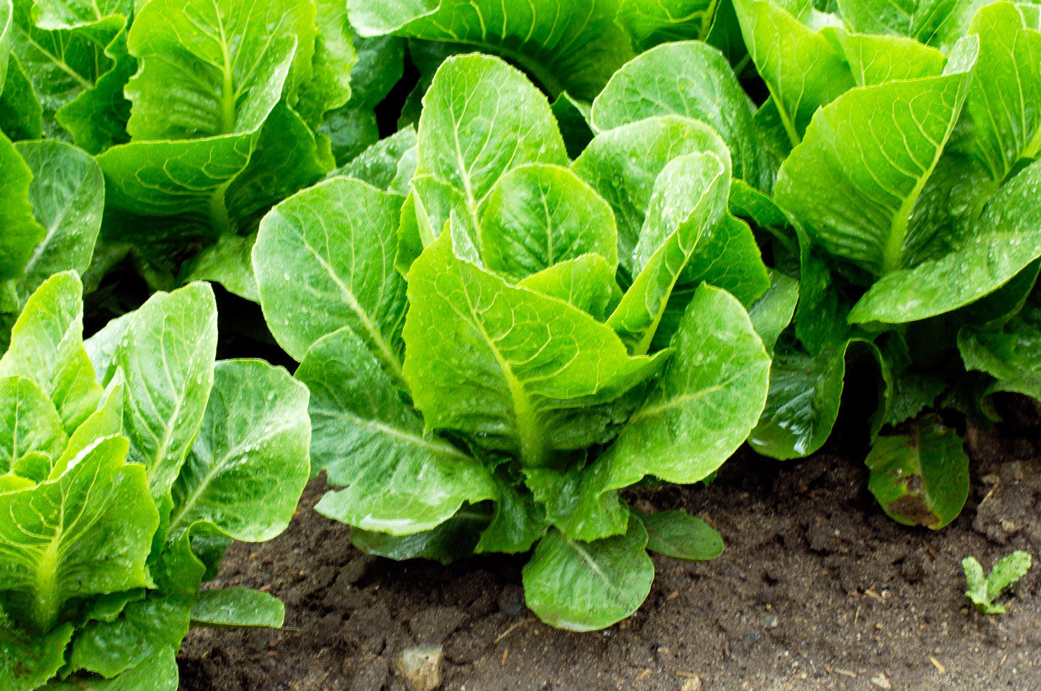 Lettuce in your Garden? Why not?