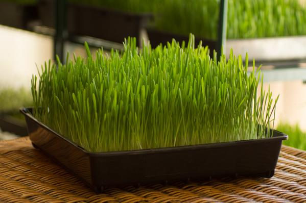Growing Wheatgrass at Home