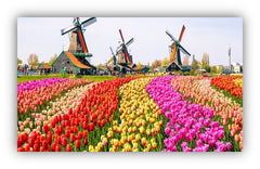 Tulips flowers meaning