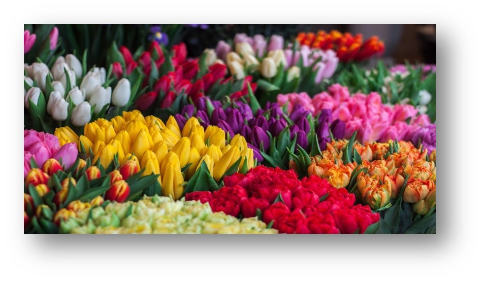 Universal tulips - flowers for all occasions