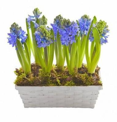 Basket of Hyacinth